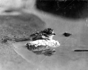 Claude photographed this young ring-necked plover when it was likely not more that a day old. June 23, 1928