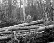 Ruffed grouse starting to drum, ca. 1928.